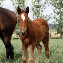 Critical Angel x Testa Rossa filly 2015