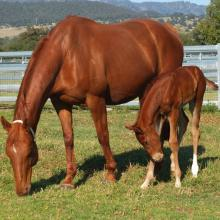 Nicconi - Very Bright 14 colt