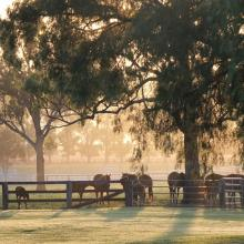 Mares and foals at dawn
