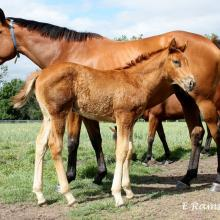 Lonely Hour x Zizou filly 2015