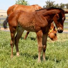 Sheza's Dream x I Am Invincible 15 filly