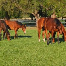 Yearlings in paddock